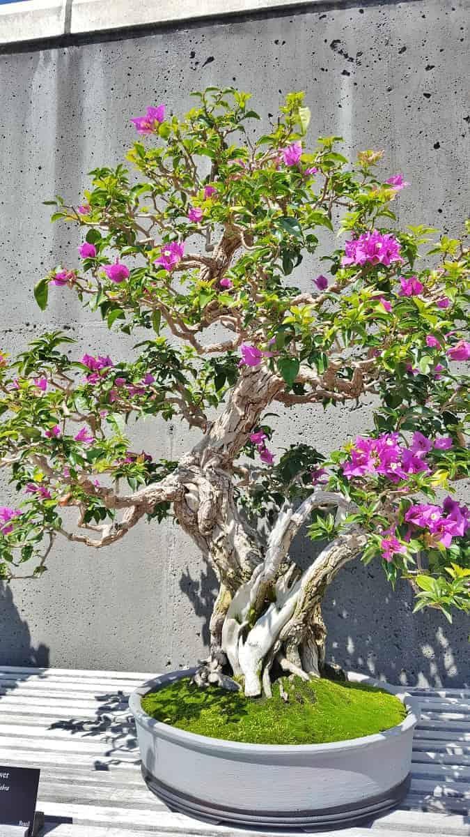 Bonsai Collection at NC Arboretum