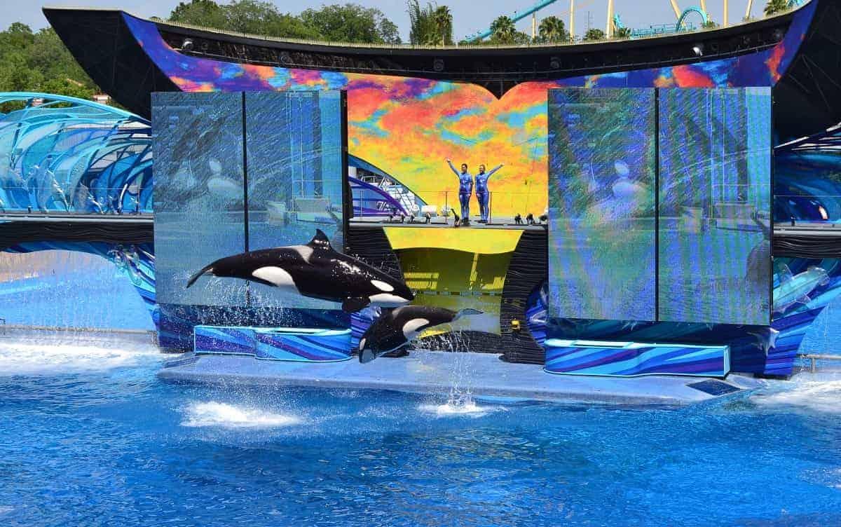 Killer Whale Show at Sea World Orlando