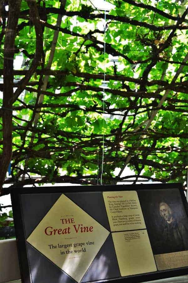 The Great Vine at Hampton Court Palace