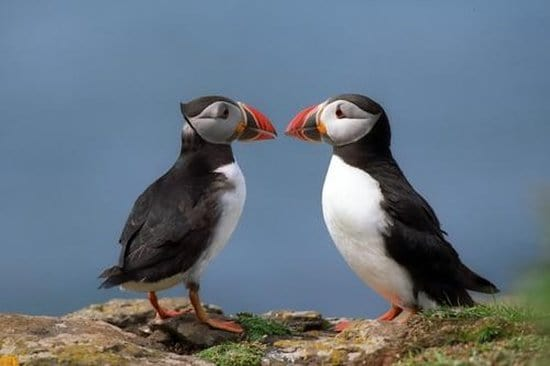 Go See the Puffins