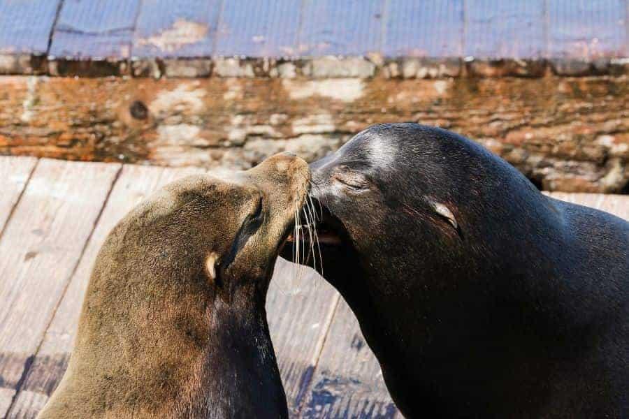 San Francisco Wharf Seals